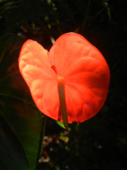 Volcano-Anthurium-backlit_thumb.JPG